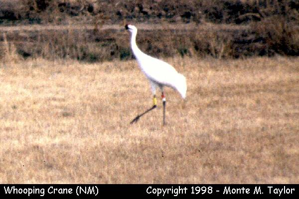 Whooping Crane  (Belen NWR, New Mexico)