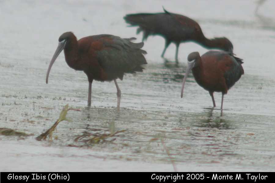 Glossy Ibis (Ohio)