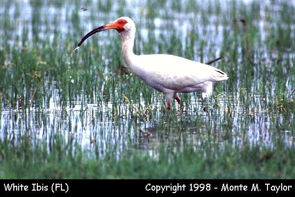 White Ibis  (Florida)