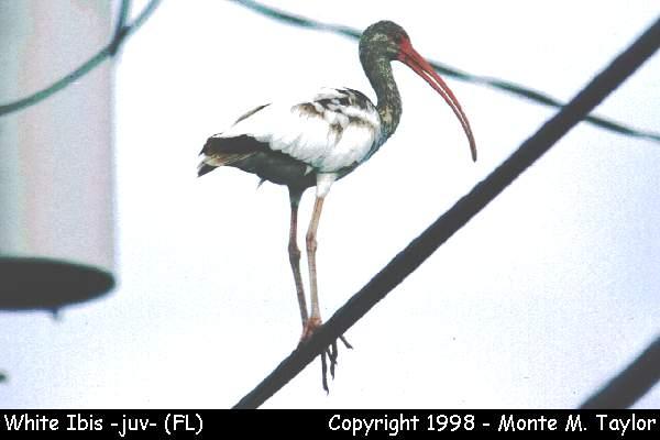 White Ibis -juvenile-  (Florida)