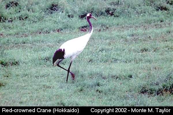 Red-crowned Crane (Hokkaido, Japan)