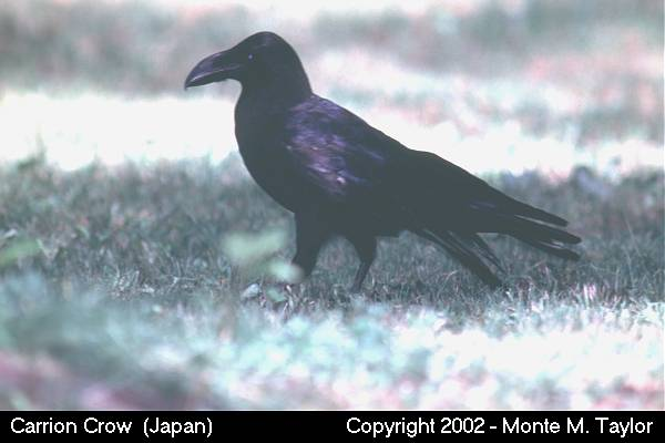 Carrion Crow (Hokkaido, Japan)