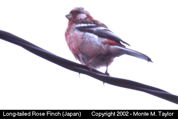 Long-tailed Rose Finch -male- (Hokkaido, Japan)
