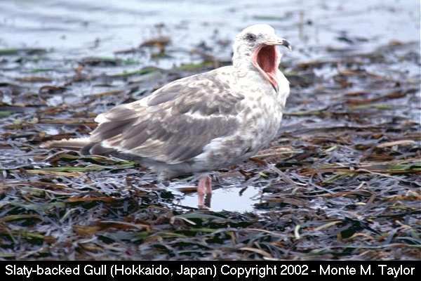 Slaty-backed Gull (Hokkaido, Japan)