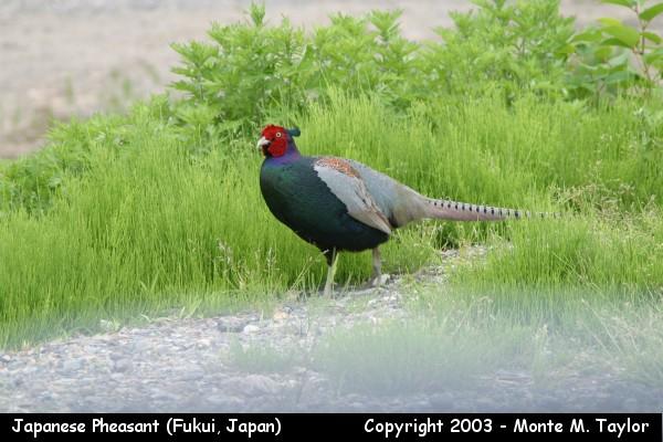 Japanese Pheasant - male (Fukui, Japan)