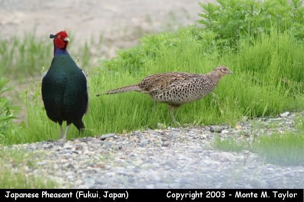 Japanese Pheasant - pair (Fukui, Japan)