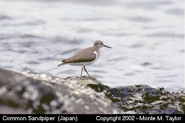 Common Sandpiper (Hokkaido, Japan)