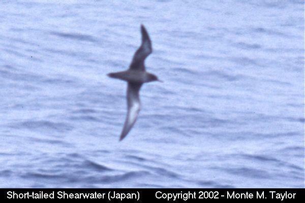 Short-tailed Shearwater (Hokkaido, Japan)