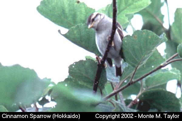 Cinnamon Sparrow -female- (Hokkaido, Japan)