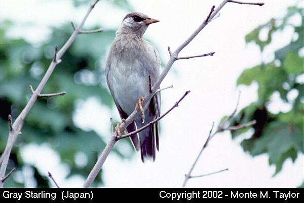 Gray Starling (Akita, Japan)