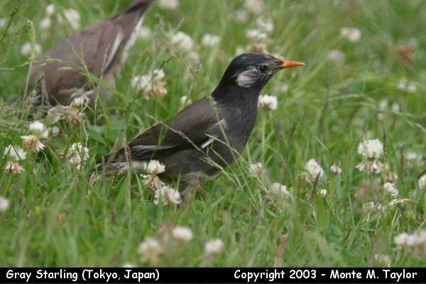 Gray Starling (Tokyo, Japan)