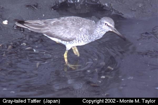 Gray-tailed Tattler (Tokyo, Japan)