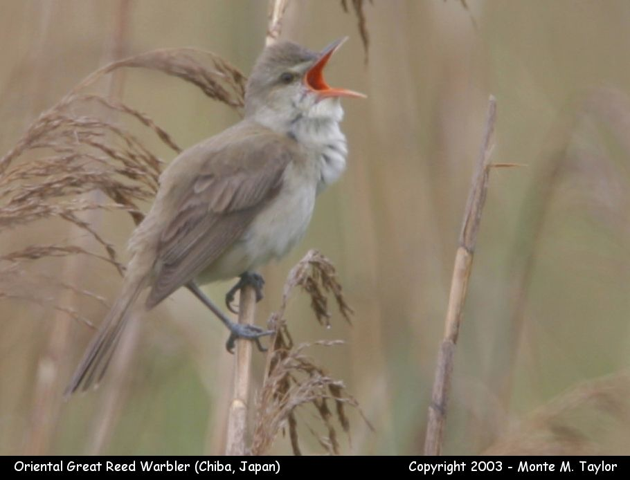 Oriental Great Reed Warbler (Chiba, Japan)