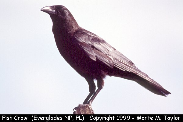 Fish Crow  (Everglades National Park, Florida)
