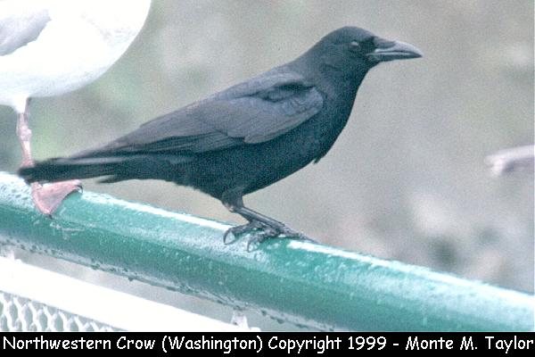 Northwestern Crow  (Blaine, Washington)