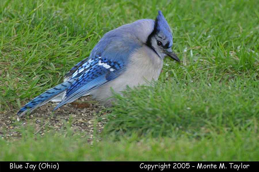 Blue Jay (Ohio)