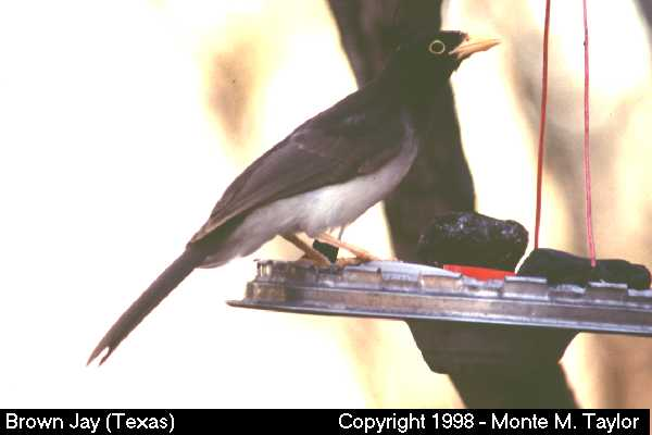 Brown Jay  (Texas)