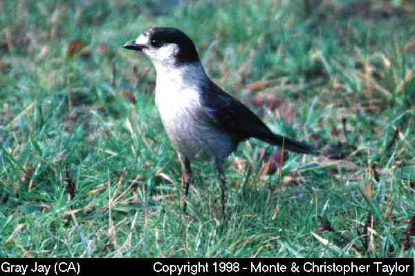 Gray Jay  (California)