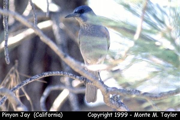 Pinyon Jay  (California)