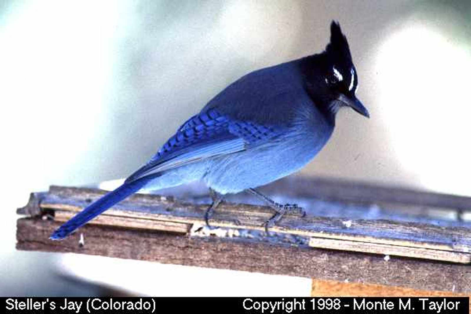 Steller's Jay (Colorado)