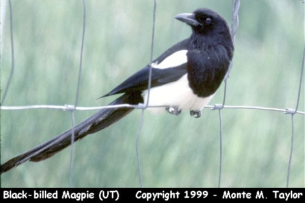 Black-billed Magpie  (Utah)