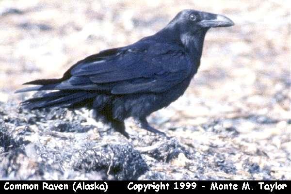 Common Raven  (Alaska)