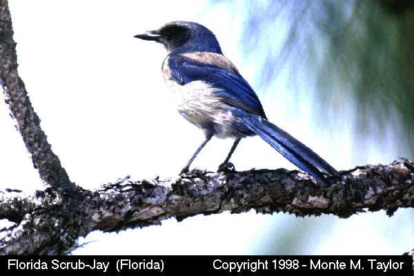Florida Scrub-Jay  (Florida)