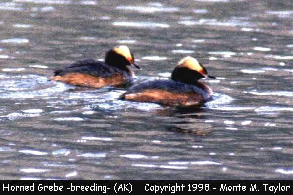 Horned Grebe -breeding-  (Alaska)