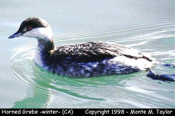 Horned Grebe -winter-  (California)