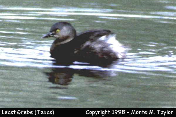 Least Grebe  (Texas)