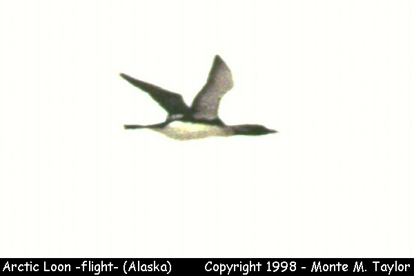 Arctic Loon -flight-  (Gambell, St. Lawrence Island, Alaska)