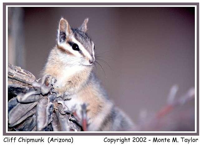 Cliff Chipmunk  (Arizona)