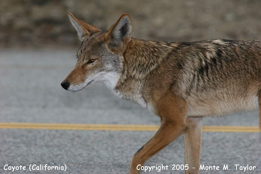 Coyote (California)