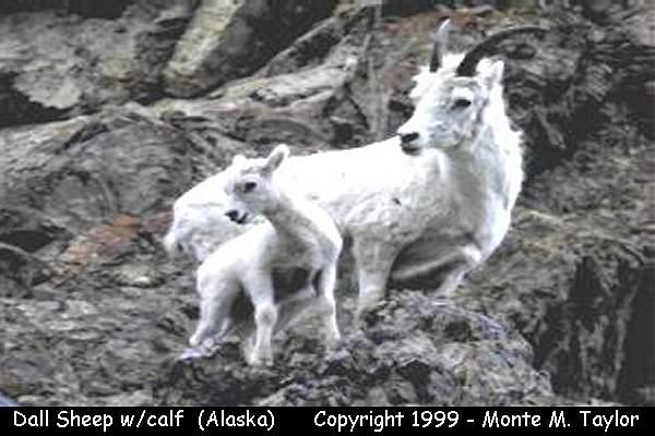 Dall Sheep with calf (Denali National Park, Alaska)