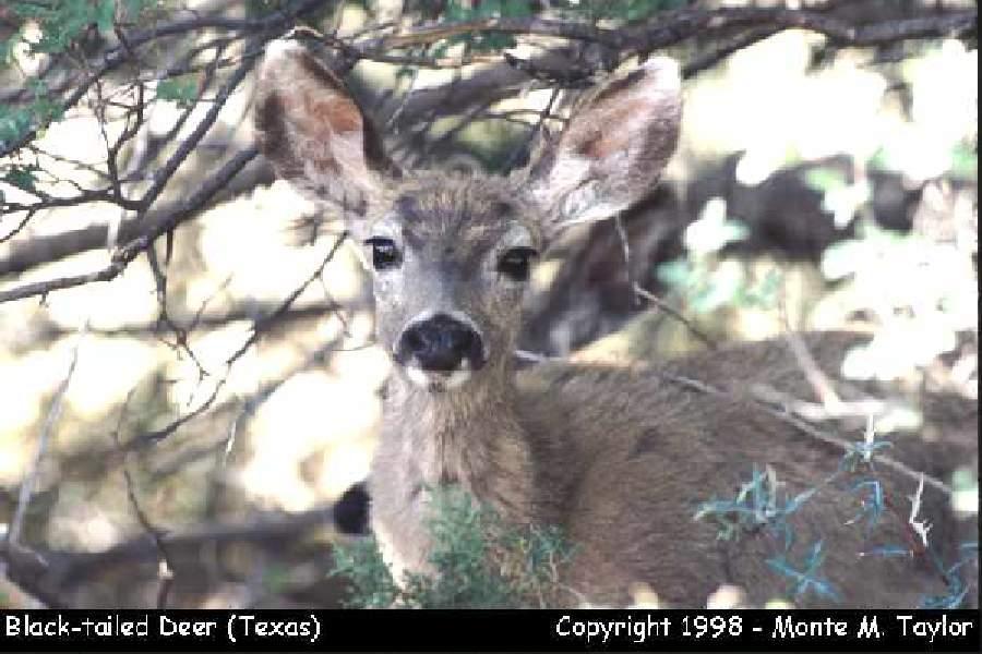 Black-tailed Deer (Texas)