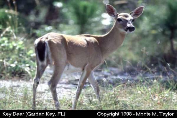 Key Deer -smallest deer in the U.S.- (Florida Keys, Florida)