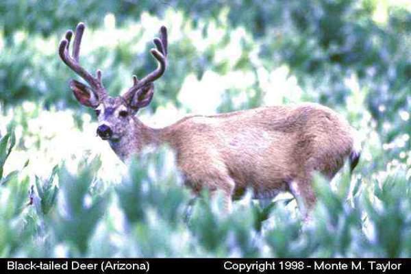 Mule Deer (California)