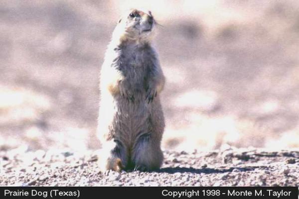 Prairie Dog (Texas)