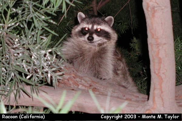 Racoon (California)