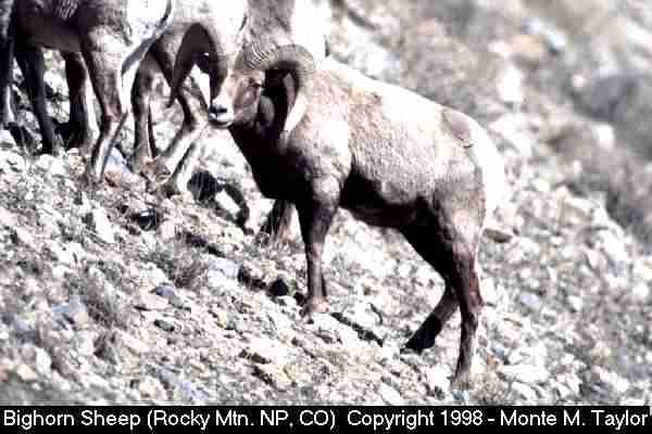 Bighorn Sheep (Colorado)