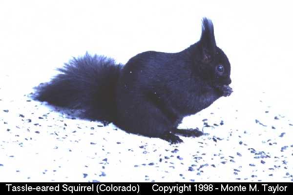 Tassle-eared Squirrel (Colorado)
