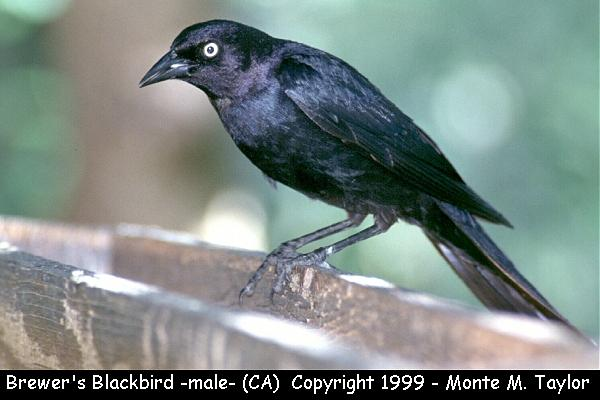 Brewer's Blackbird -male-  (California)