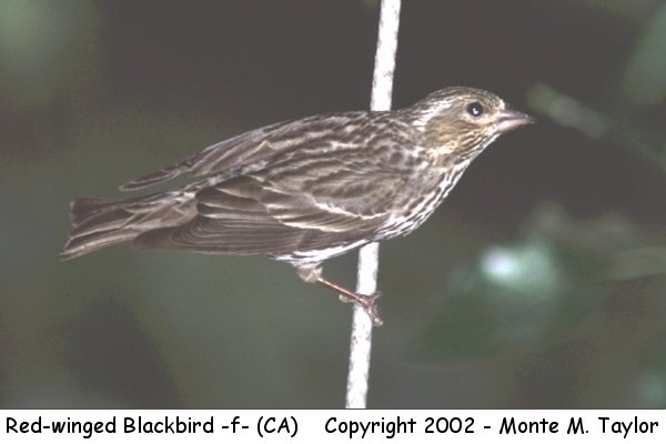 Red-winged Blackbird -female- (California)