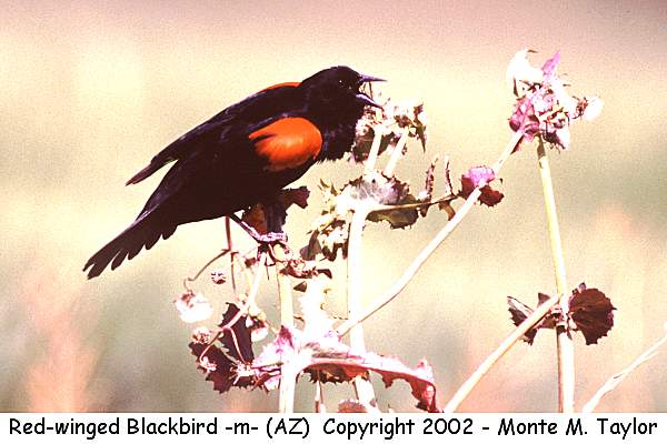 Red-winged Blackbird -male-  (Arizona)