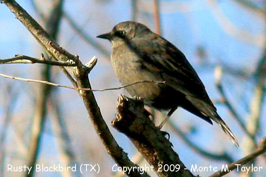 Rusty Blackbird Spring Migration Blitz  Audubon Society
