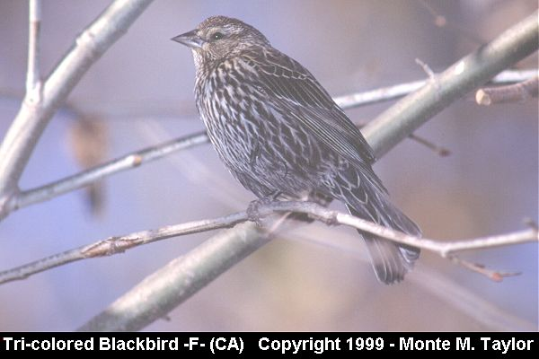 Tricolored Blackbird -female-  (California)
