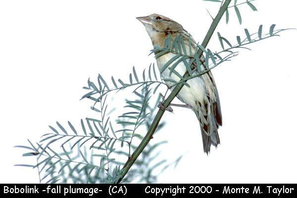 Bobolink -fall plumage-  (California)