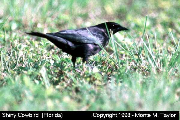 Shiny Cowbird -male-  (Florida)