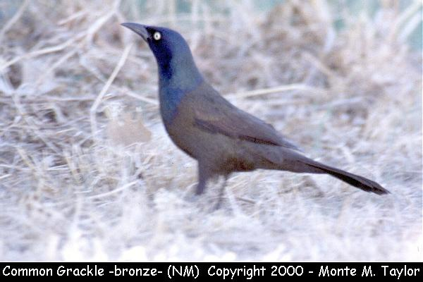 Common Grackle -male / bronze race-  (New Mexico)