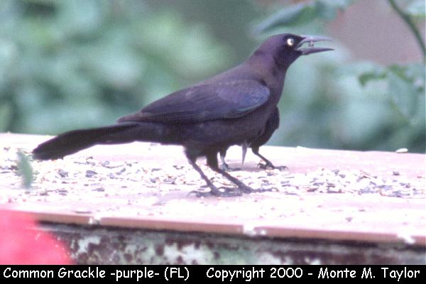 Common Grackle -male / purple race-  (Florida)